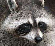 180px-Raccoon_(Procyon_lotor)_2.jpg